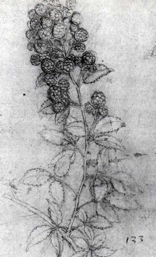 Leonardo da Vinci, Rubus fruticosus, chalk on paper