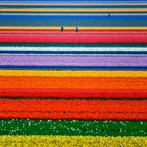tulipfields