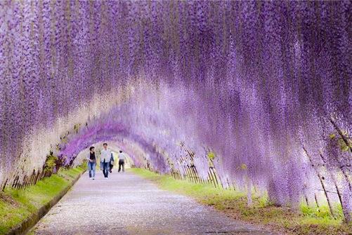 wisteriaflowertunnel