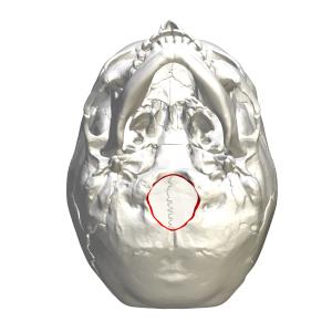 Foramen_magnum_-_inferior_view